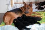 Quinni og nogle af hvalpene